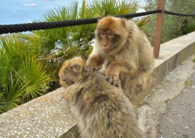 Gibraltar - Affenfelsen