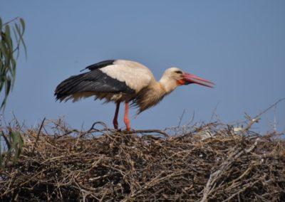 Weisstorch im Nest