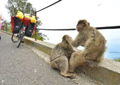 Gibraltar, Entlausung ist bei den Berberaffen an der Tagesordnung