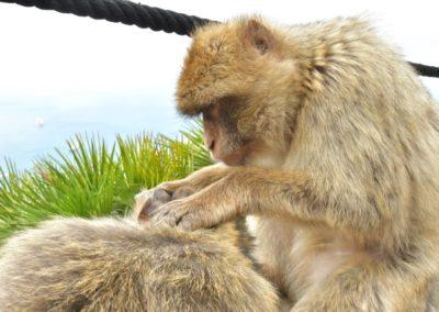 Gibraltar, ich glaube mich laust der Affe