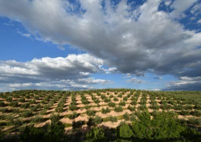 Spanien, Andalusien, riesige Olivenhaine. Spanien ist der weltweit größte Olivenproduzent